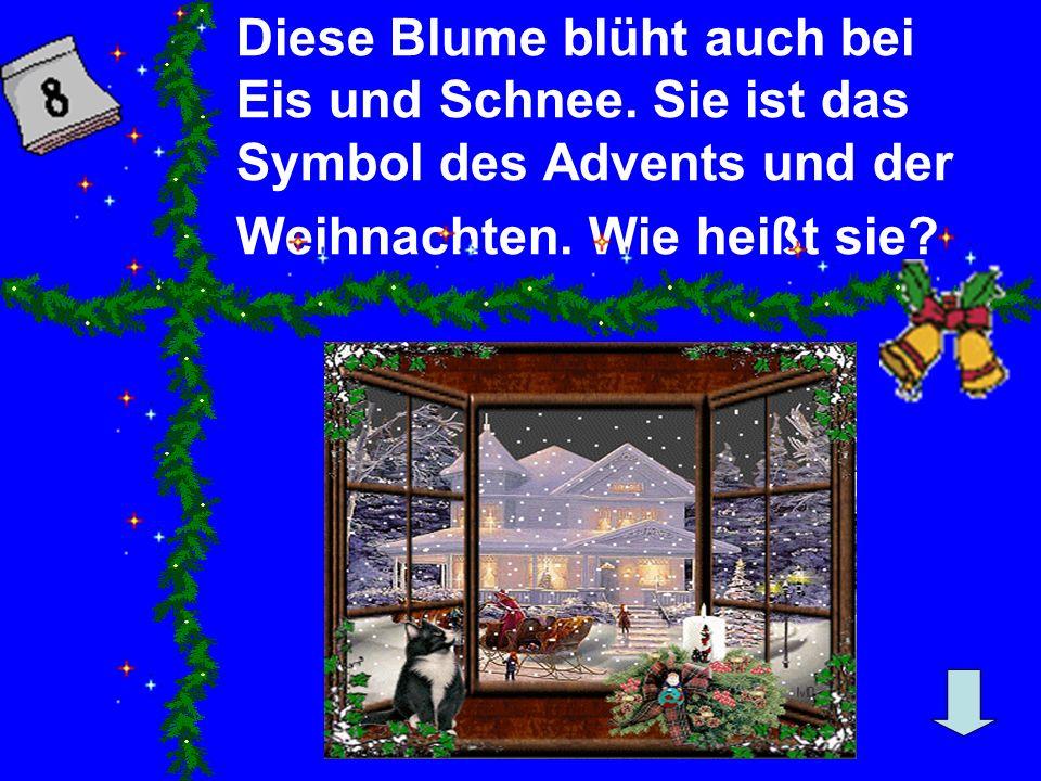 Diese Blume blüht auch bei Eis und Schnee.Sie ist das Symbol des Advents und der Weihnachten.