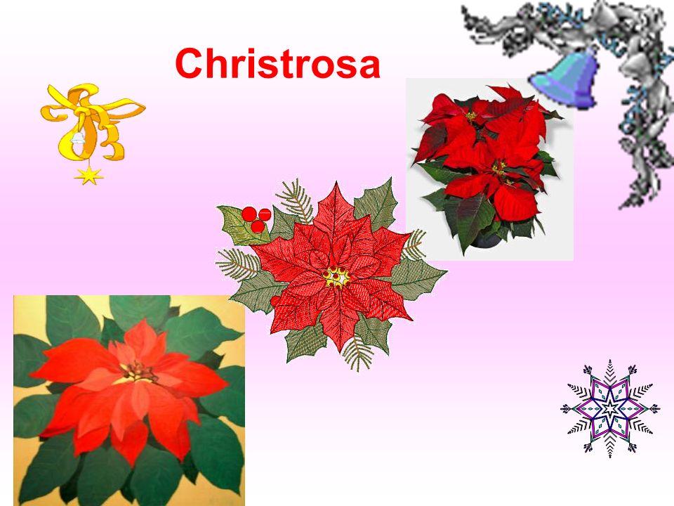 Christrosa