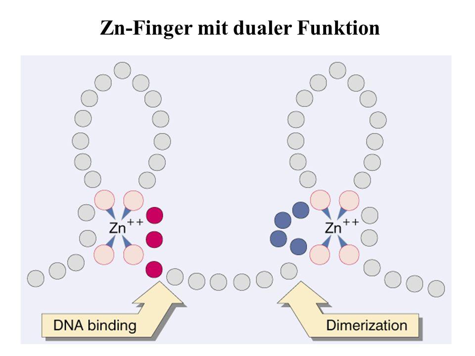 Zinc-Finger Lewin21-05 Zn-Finger mit dualer Funktion