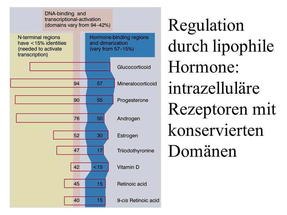 Lewin21-08 Regulation durch lipophile Hormone: intrazelluläre Rezeptoren mit konservierten Domänen