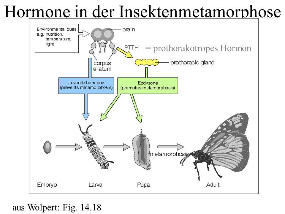 Hormone in der Insektenmetamorphose aus Wolpert: Fig. 14.18 = prothorakotropes Hormon