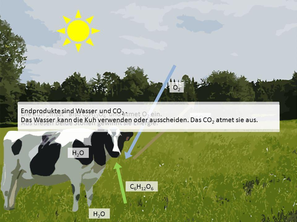"""C 6 H 12 O 6 O2O2 CO 2 H2OH2O Die Kuh """"frisst also C 6 H 12 O 6 und atmet O 2 ein."""