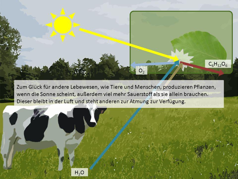 H2OH2O O2O2 C 6 H 12 O 6 CO 2 Zum Glück für andere Lebewesen, wie Tiere und Menschen, produzieren Pflanzen, wenn die Sonne scheint, außerdem viel mehr Sauerstoff als sie allein brauchen.