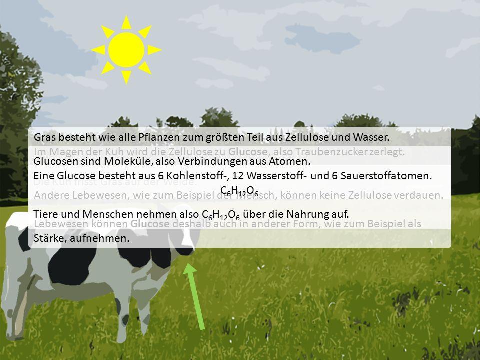 Die Kuh frisst Gras auf der Weide.