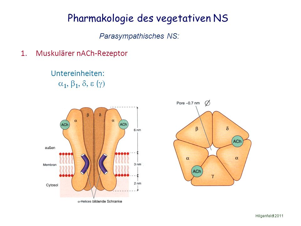 Pharmakologie des vegetativen NS Hilgenfeldt 2011 Parasympathisches NS: 1.Muskulärer nACh-Rezeptor Untereinheiten:      ( 