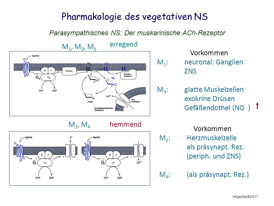 Pharmakologie des vegetativen NS Hilgenfeldt 2011 Parasympathisches NS: Der muskarinische ACh-Rezeptor M 1, M 3, M 5 Vorkommen M 2 : Herzmuskelzelle als präsynapt.