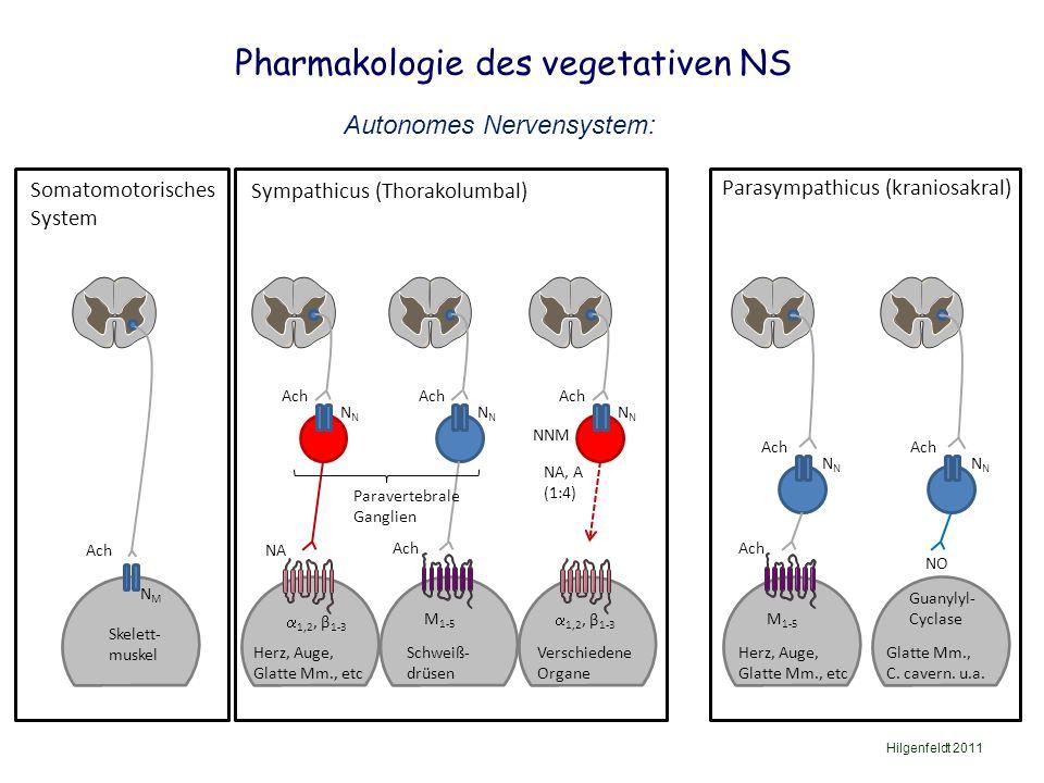 Pharmakologie des vegetativen NS Hilgenfeldt 2011 Skelett- muskel Ach NMNM Herz, Auge, Glatte Mm., etc NA  1,2, β 1-3 Ach N Verschiedene Organe NA, A (1:4) Ach N  1,2, β 1-3 Schweiß- drüsen Ach N M 1-5 Glatte Mm., C.
