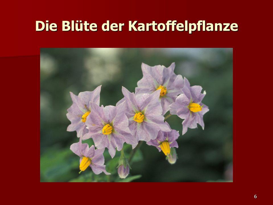 6 Die Blüte der Kartoffelpflanze