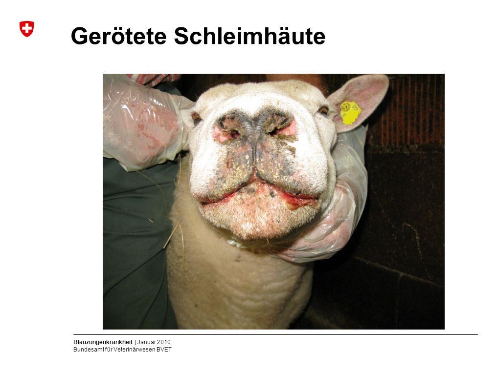Blauzungenkrankheit | Januar 2010 Bundesamt für Veterinärwesen BVET Gerötete Schleimhäute