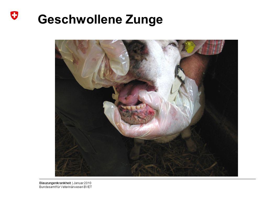 Blauzungenkrankheit | Januar 2010 Bundesamt für Veterinärwesen BVET Geschwollene Zunge