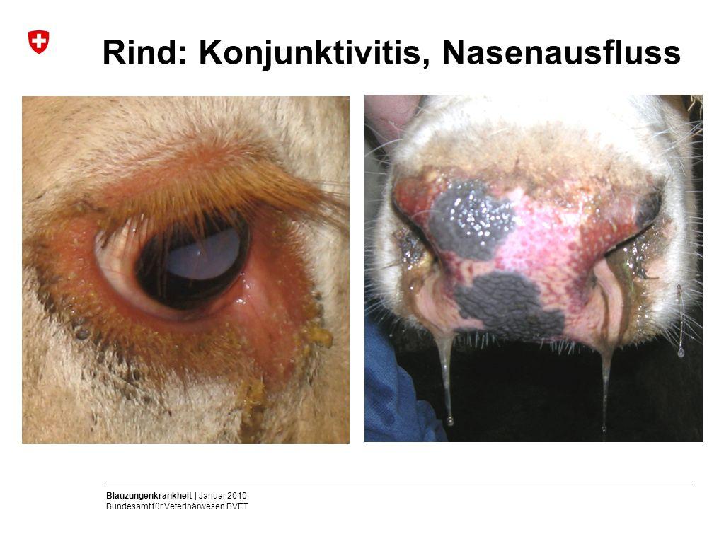Blauzungenkrankheit | Januar 2010 Bundesamt für Veterinärwesen BVET Rind: Konjunktivitis, Nasenausfluss