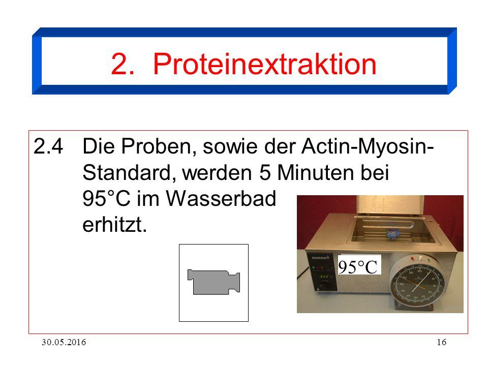 30.05.201616 2. Proteinextraktion 2.4Die Proben, sowie der Actin-Myosin- Standard, werden 5 Minuten bei 95°C im Wasserbad erhitzt. 95°C