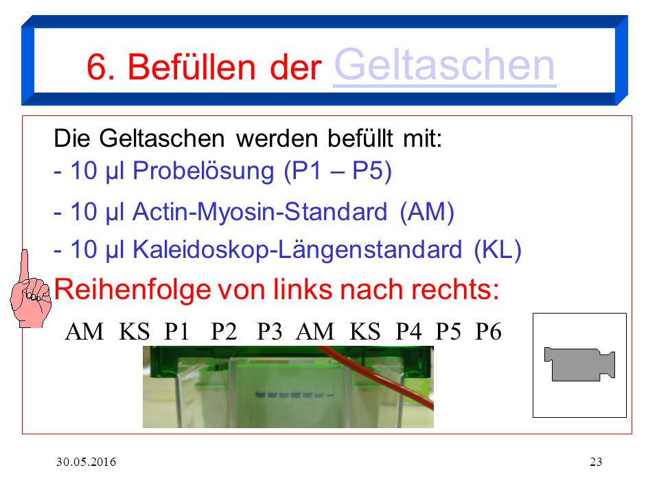 30.05.201623 6. Befüllen der Geltaschen Geltaschen Die Geltaschen werden befüllt mit: - 10 µl Probelösung (P1 – P5) - 10 µl Actin-Myosin-Standard (AM)