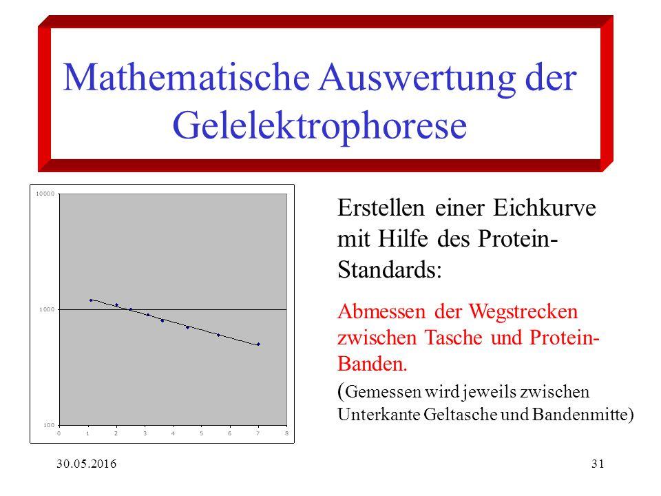 30.05.201631 Mathematische Auswertung der Gelelektrophorese Erstellen einer Eichkurve mit Hilfe des Protein- Standards: Abmessen der Wegstrecken zwischen Tasche und Protein- Banden.