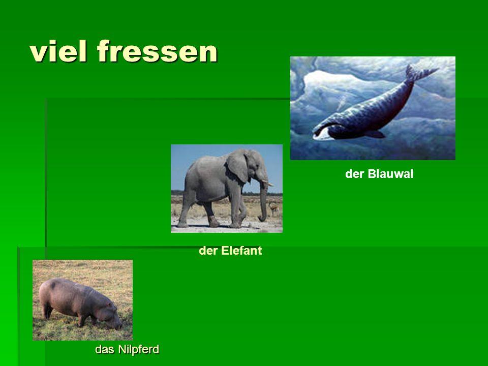 viel fressen das Nilpferd der Elefant der Blauwal