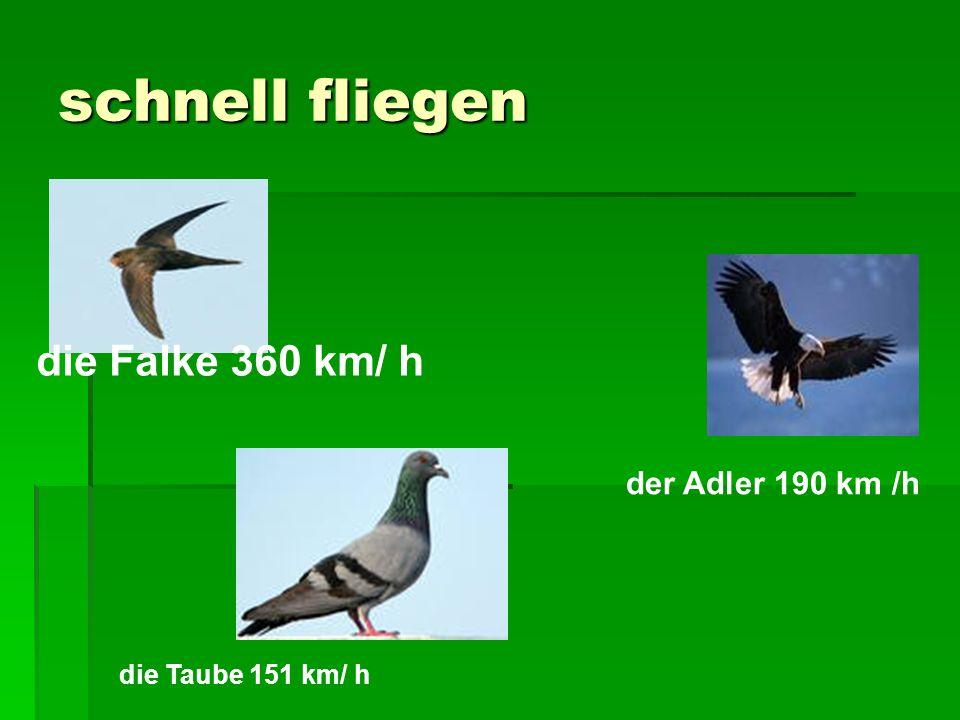 schnell fliegen die Taube 151 km/ h die Falke 360 km/ h der Adler 190 km /h