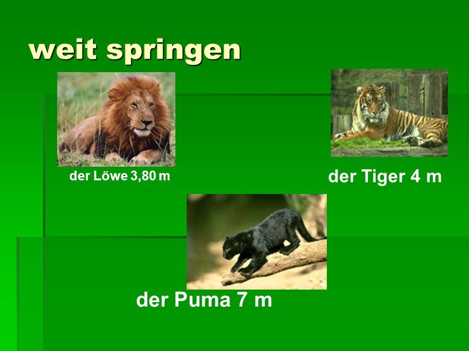 weit springen der Puma 7 m der Löwe 3,80 m der Tiger 4 m
