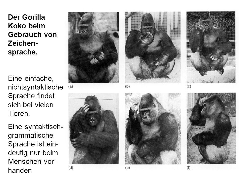 Der Gorilla Koko beim Gebrauch von Zeichen- sprache.