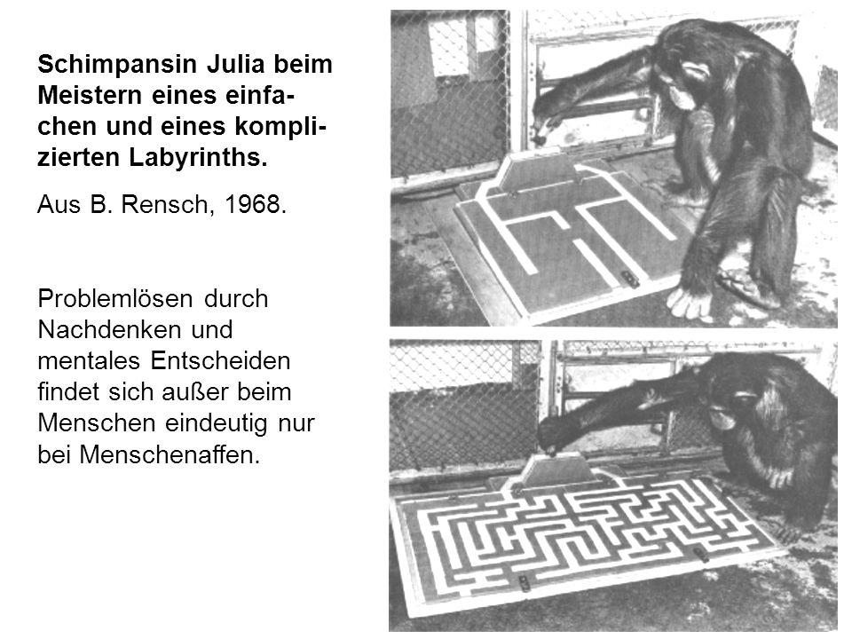 Schimpansin Julia beim Meistern eines einfa- chen und eines kompli- zierten Labyrinths.