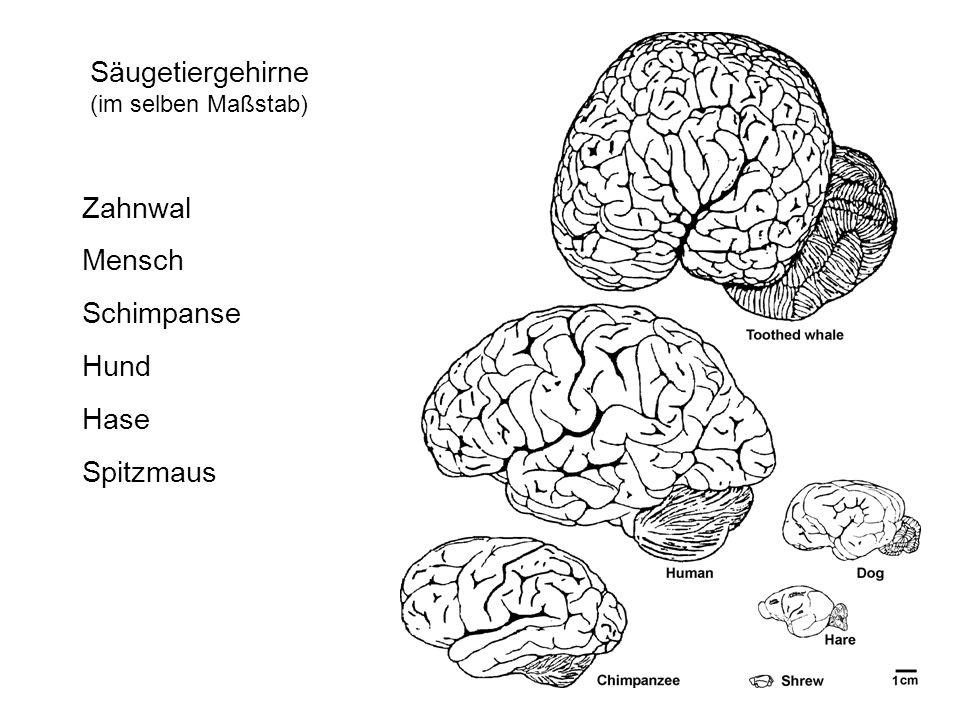 Säugetiergehirne (im selben Maßstab) Zahnwal Mensch Schimpanse Hund Hase Spitzmaus