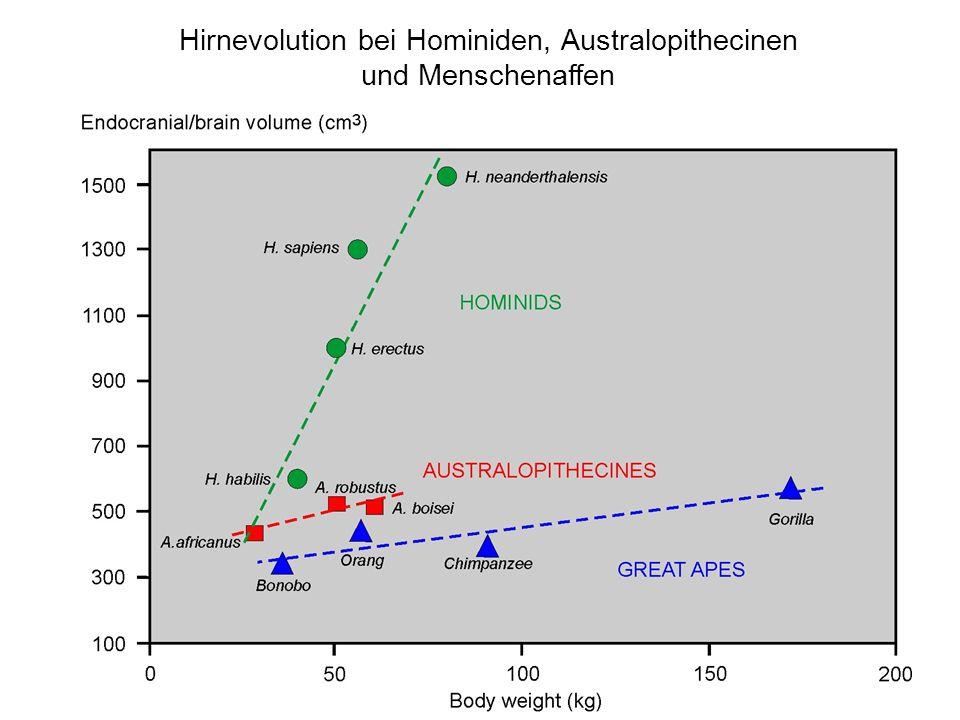 Hirnevolution bei Hominiden, Australopithecinen und Menschenaffen
