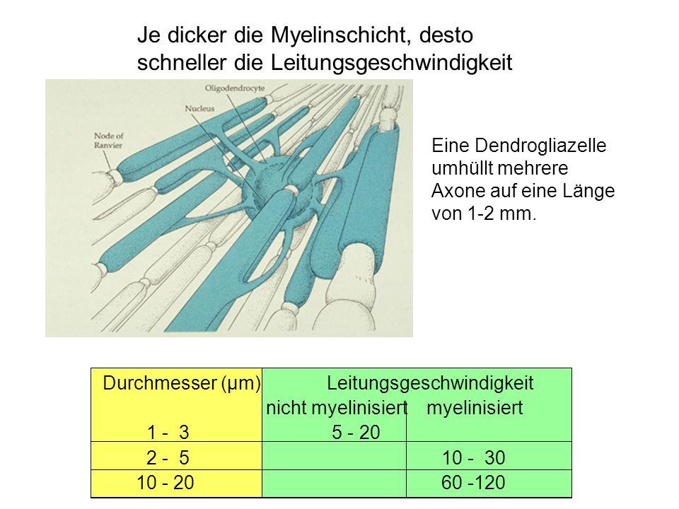 Je dicker die Myelinschicht, desto schneller die Leitungsgeschwindigkeit Durchmesser (µm)Leitungsgeschwindigkeit nicht myelinisiert myelinisiert 1 - 3 5 - 20 2 - 510 - 30 10 - 2060 -120 Eine Dendrogliazelle umhüllt mehrere Axone auf eine Länge von 1-2 mm.