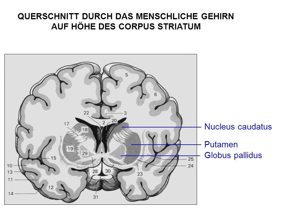 Nucleus caudatus Putamen Globus pallidus QUERSCHNITT DURCH DAS MENSCHLICHE GEHIRN AUF HÖHE DES CORPUS STRIATUM