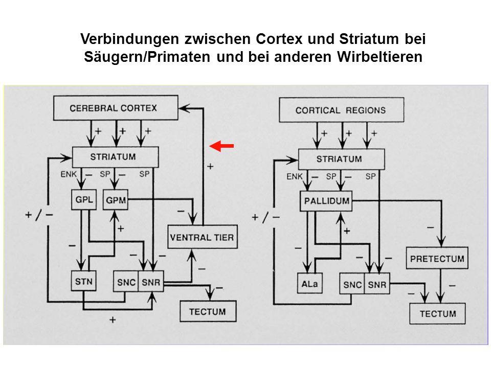 Verbindungen zwischen Cortex und Striatum bei Säugern/Primaten und bei anderen Wirbeltieren
