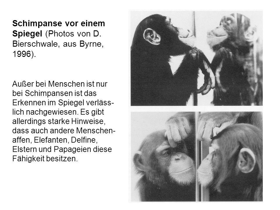 Schimpanse vor einem Spiegel (Photos von D. Bierschwale, aus Byrne, 1996).