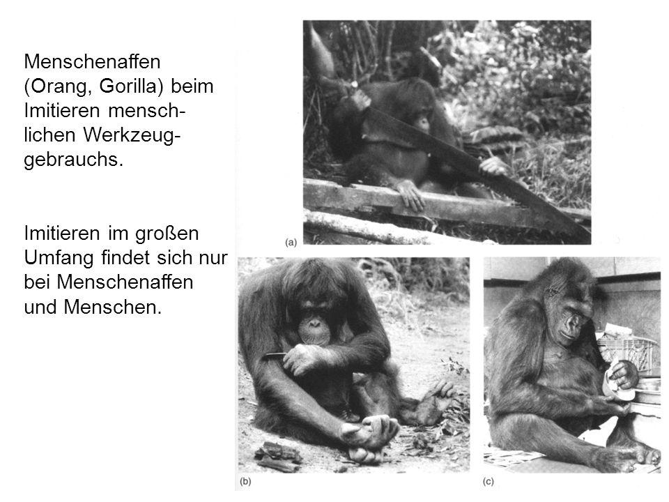 Menschenaffen (Orang, Gorilla) beim Imitieren mensch- lichen Werkzeug- gebrauchs.