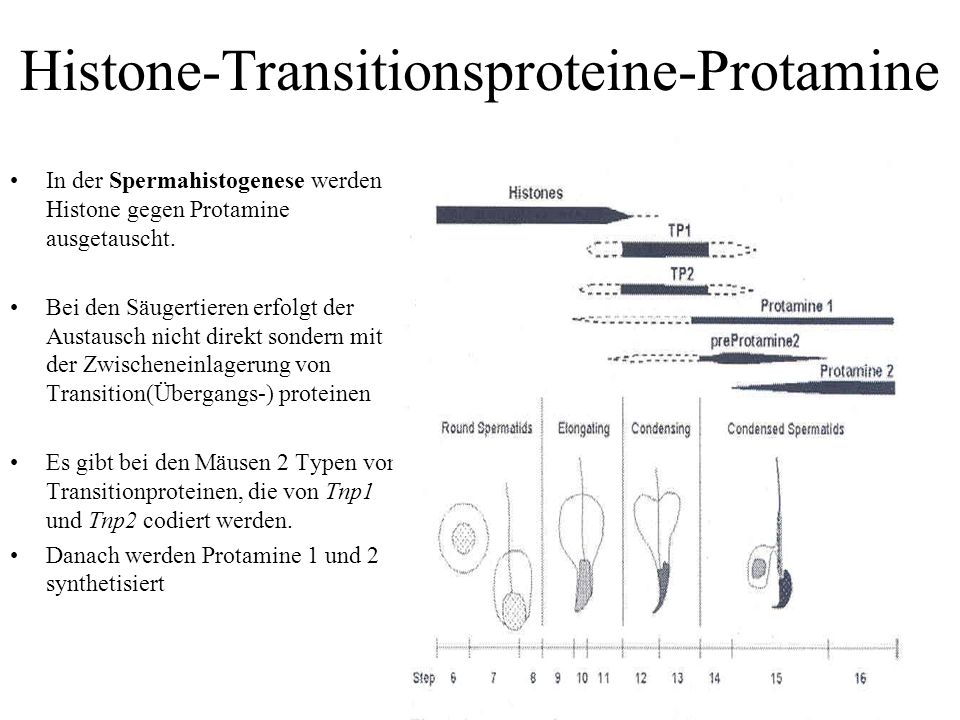 Histone-Transitionsproteine-Protamine In der Spermahistogenese werden Histone gegen Protamine ausgetauscht.