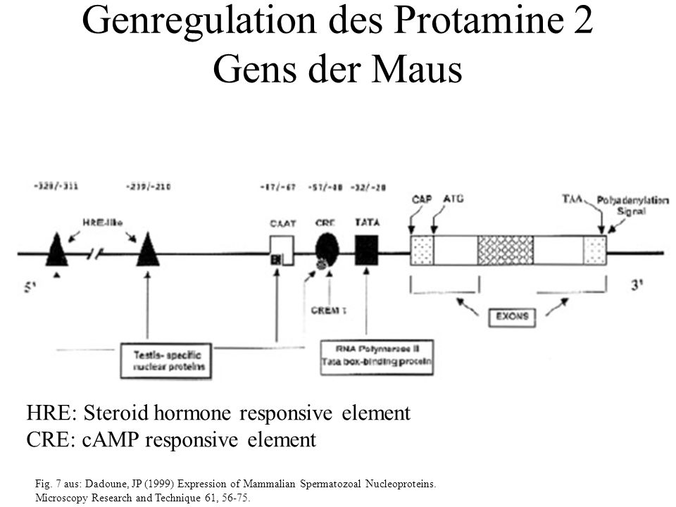 Fig. 7 aus: Dadoune, JP (1999) Expression of Mammalian Spermatozoal Nucleoproteins.