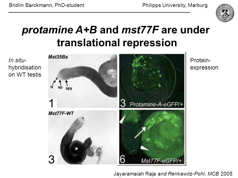Jayaramaiah Raja and Renkawitz-Pohl, MCB 2005 protamine A+B and mst77F are under translational repression In situ- hybridisation on WT testis Protein- expression Bridlin Barckmann, PhD-student Philipps University, Marburg