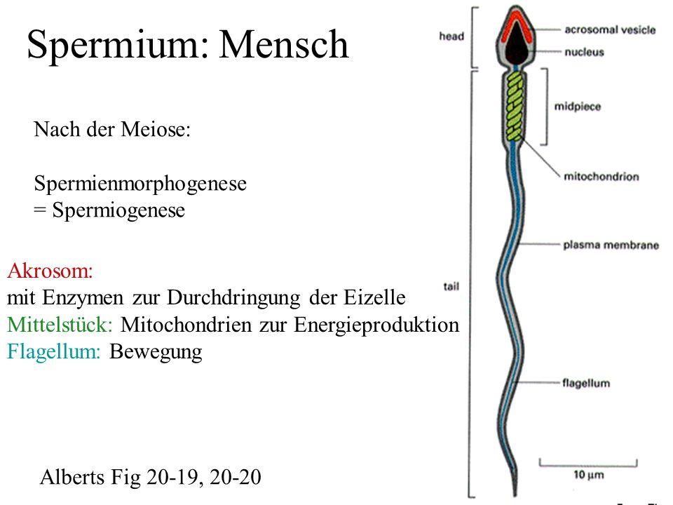 Spermatogenese: Zellen sind durch Cytoplasmabrücken verbunden (Zeitangaben: Mensch) Die Spermatogenese ist die Bildung von Spermien, also männlichen Keimzellen Spermienmännlichen Phasen der Spermatogenese: 1)Mitotische Teilung der Spermatogonien zur Vermehrung der Keimzellen 2) deren Differenzierung zu den primären Spermatozyten = Spz1 Diese Phase ist mehrtägig und zeichnet sich durch erhebliche Zellvergrößerung aus 3) Erste meiotische Teilung der Spz1zu den Spz2 (2.Ordnung), zweite.Meiotische Teilung zu den runden Spermatiden = rSpd 4) Keine Teilung mehr, nur Differenzierung zu reifen Spermatiden = eSpd, sog.