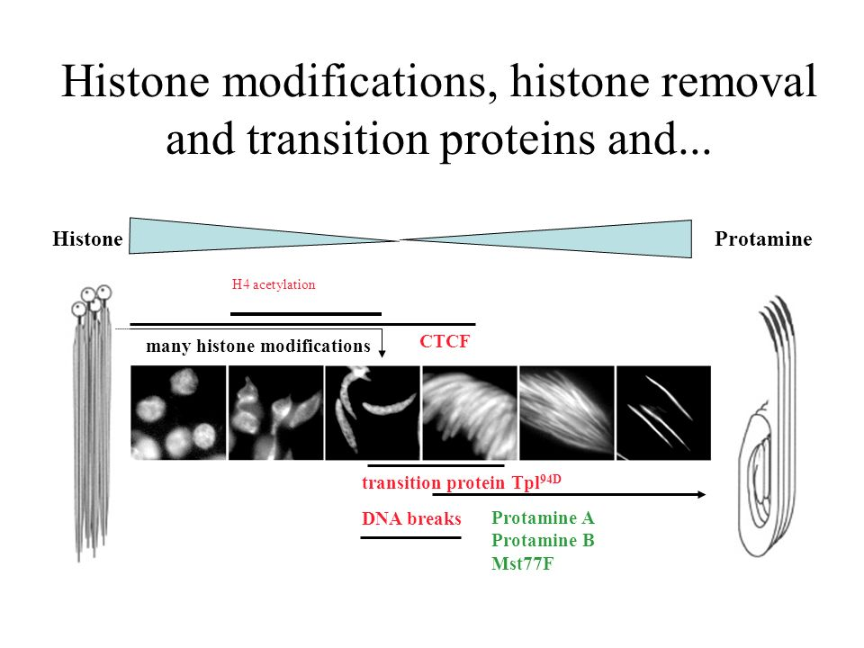 Histone modifications, histone removal and transition proteins and...