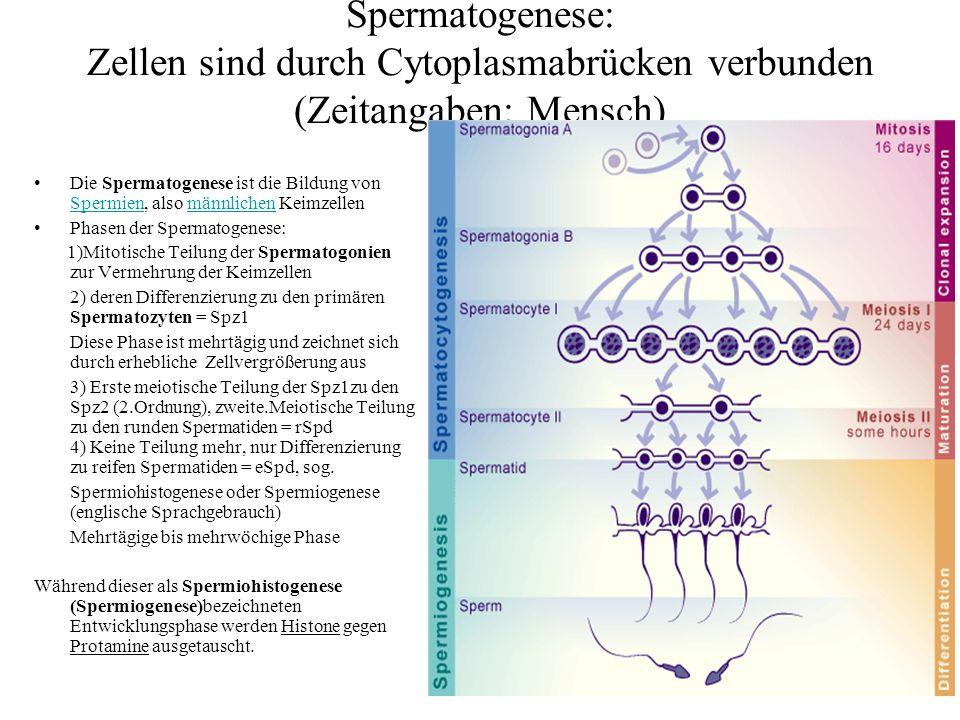 Fig.2 Aus: Steger, Klaus (1999) Transcriptional and translational regulation of gene expression in haploid spermatids.