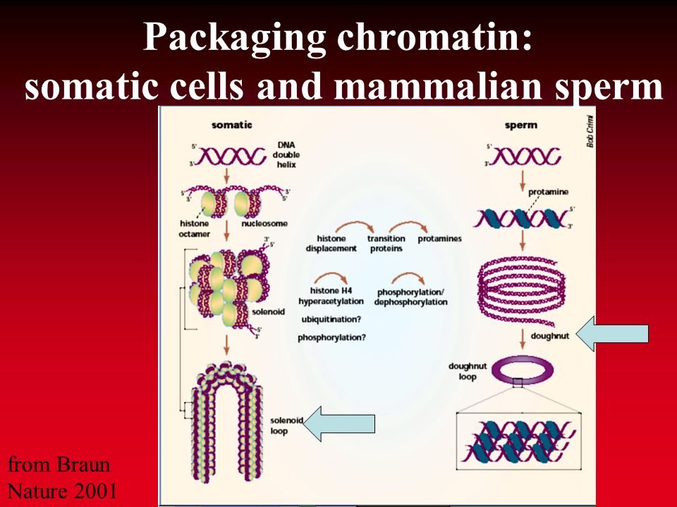 Structure of the sperm chromatin modified after Braun, 2001 Balhorn et al., 1999