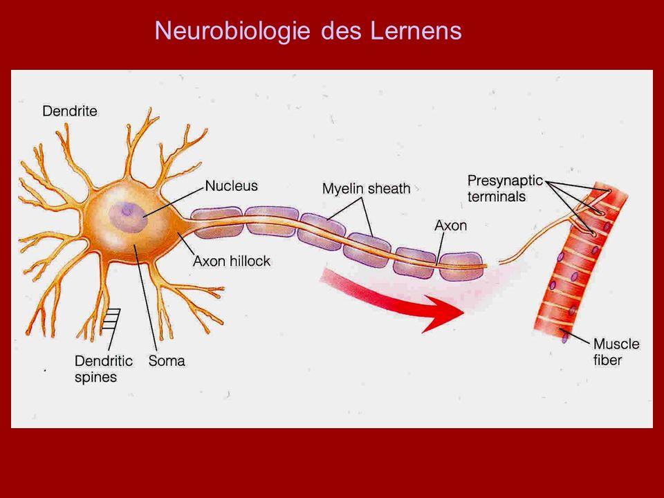 Neurobiologie des Lernens