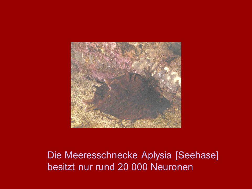 Die Meeresschnecke Aplysia [Seehase] besitzt nur rund 20 000 Neuronen
