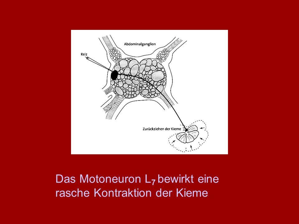 Das Motoneuron L 7 bewirkt eine rasche Kontraktion der Kieme