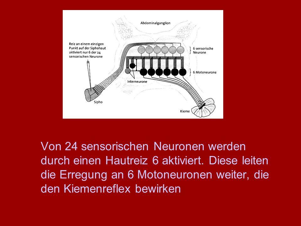 Von 24 sensorischen Neuronen werden durch einen Hautreiz 6 aktiviert. Diese leiten die Erregung an 6 Motoneuronen weiter, die den Kiemenreflex bewirke