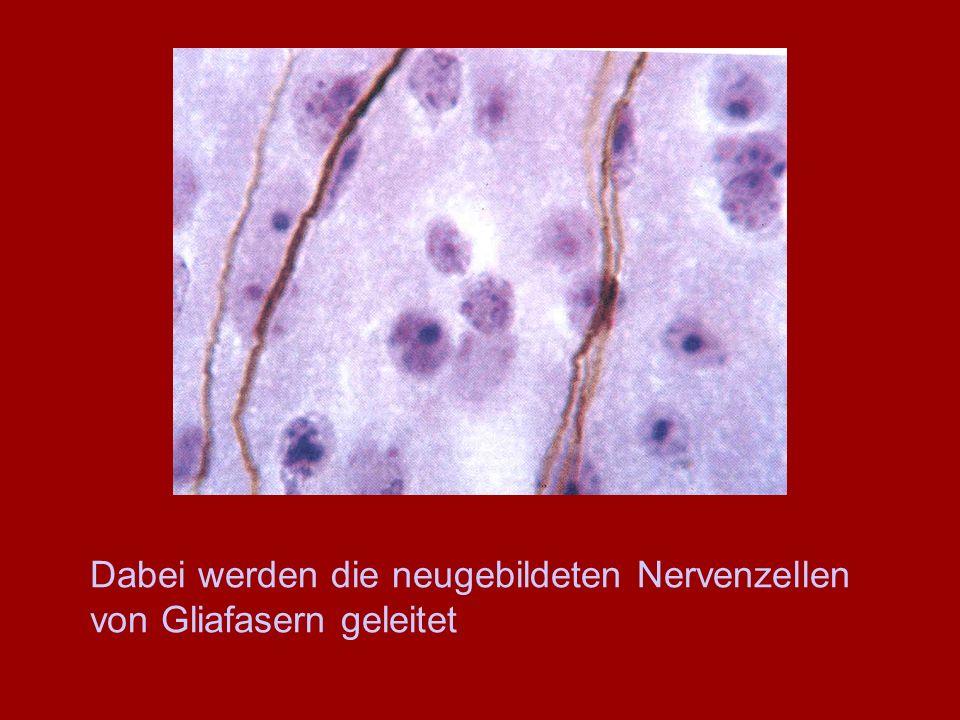 Dabei werden die neugebildeten Nervenzellen von Gliafasern geleitet