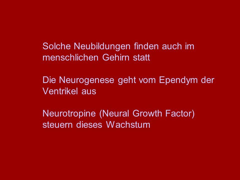 Solche Neubildungen finden auch im menschlichen Gehirn statt Die Neurogenese geht vom Ependym der Ventrikel aus Neurotropine (Neural Growth Factor) st