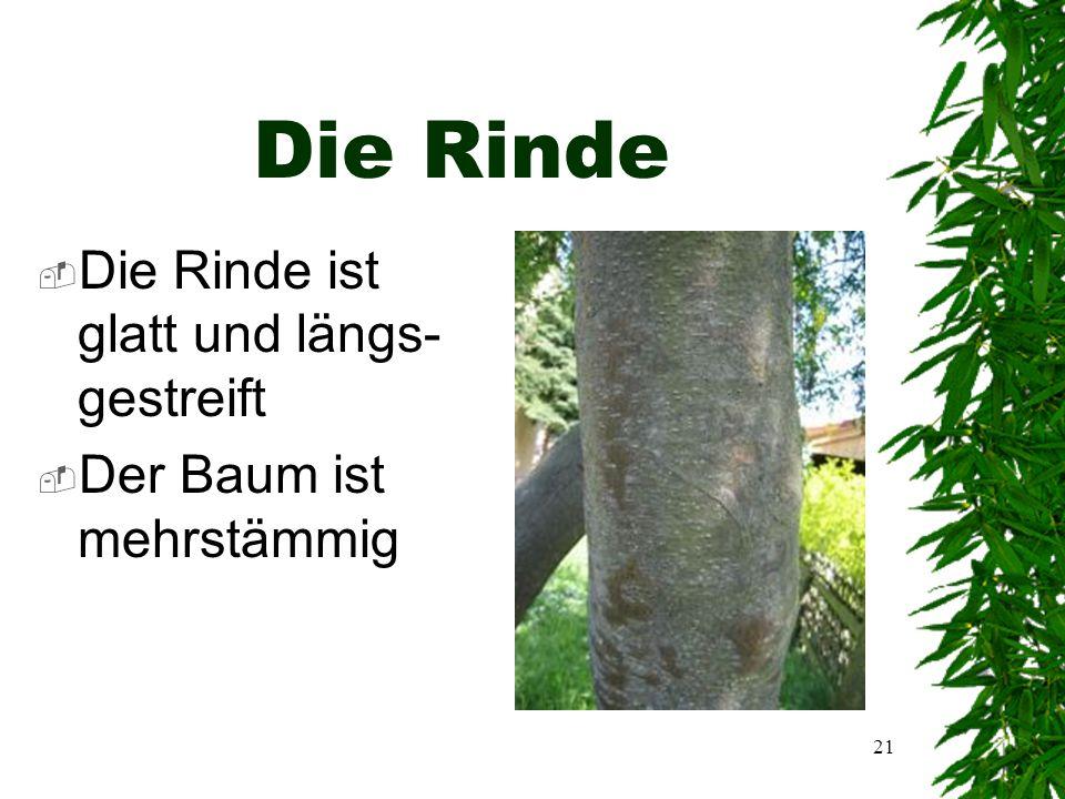 20  An einem Stiel sind meist drei Blätter  Ein Blatt ist 5cm lang und 2 cm breit  Der Stiel ist 3-5cm lang  Das Blatt ist oben dunkelgrün und unten grünlich-grau  Zu sehen ist die Unterseite eines Blattes