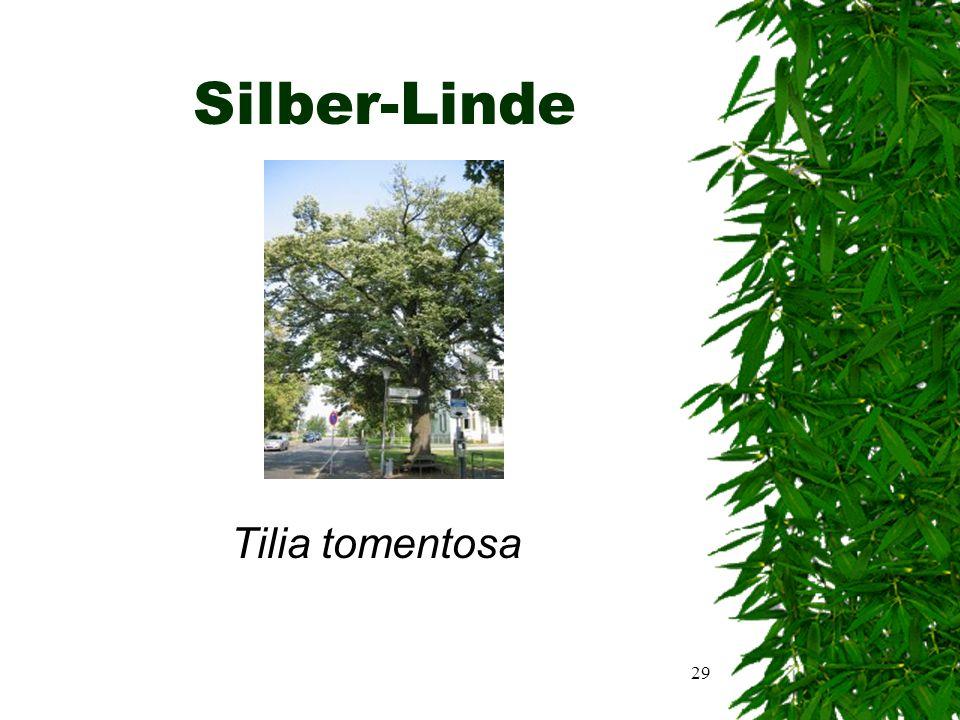 28 Sonstiges  Der Baum wird auch Bohnen- oder Kleebaum genannt  Alle Goldregen sind giftig, da sie den höchstgiftigen Stoff Alkaloid Cytisin enthalten