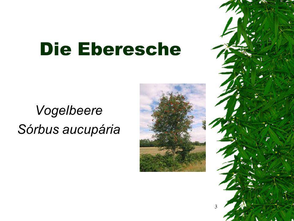 2 Inhaltsangabe  Eberesche (Vogelbeere) Sórbus aucupária  Gewöhnlicher Goldregen Laburnum anagyroides  Silber-Linde Tilia tomentosa  Quellen