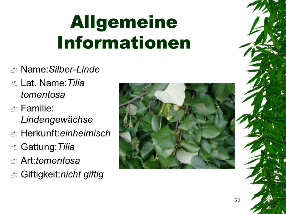 29 Silber-Linde Tilia tomentosa