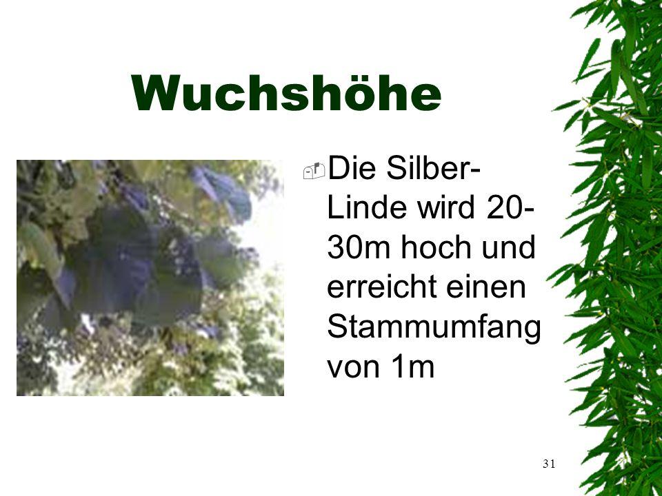 30 Allgemeine Informationen  Name:Silber-Linde  Lat.