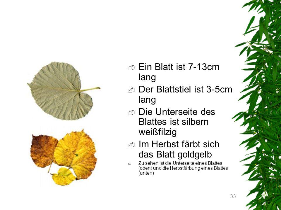 32 Das Blatt  Blattanordnung: wechselständig  Blattaufbau:einfach  Blattform:herzförmig  Blattrand:gesägt  Zu sehen ist die Vorderseite eines Silber-Linden Blattes