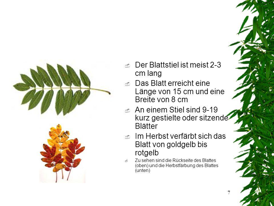 6 Das Blatt  Blattanordnung: wechselständig  Blattaufbau: zusammengesetzt  Blattform:unpaarig gefiedert  Blattrand:gesägt  Zu sehen ist die Blattvorderseite